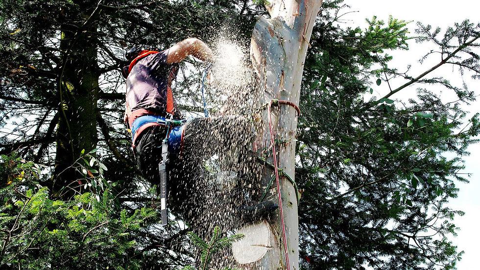 man up tree cutting it down.jpg