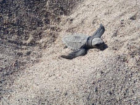 Rescatan 75 tortugas golfinas en Puerto Vallarta