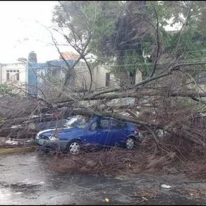 Tras lluvia vespertina, caen árboles en Guadalajara y Zapopan
