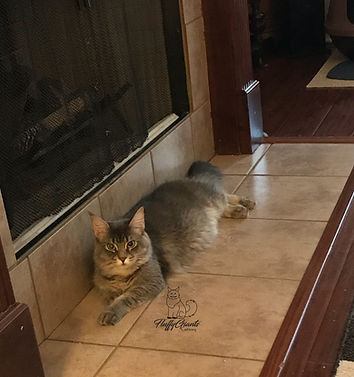 Maine Coon Kittens For Sale Fluffy Giants Cattery Bossier City La