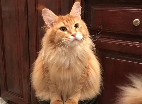 Maine Coon Kittens for sale | Fluffy Giants Cattery | Adrian
