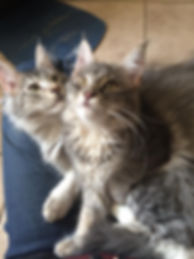 Maine coon Honey Melody
