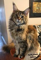 Rachelle Maine Coon Cat