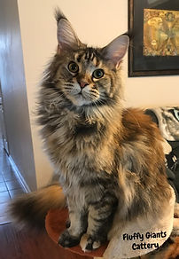 Rachelle Maine Coon Cat