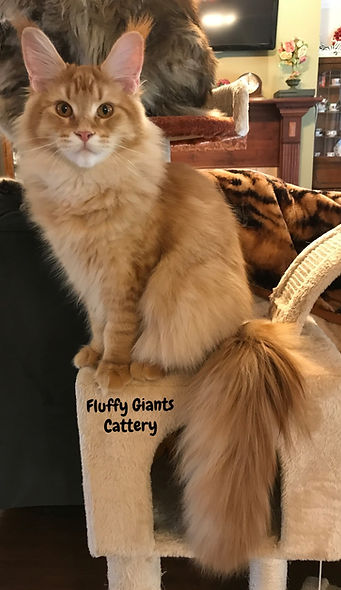 Maine Coon Bently standing