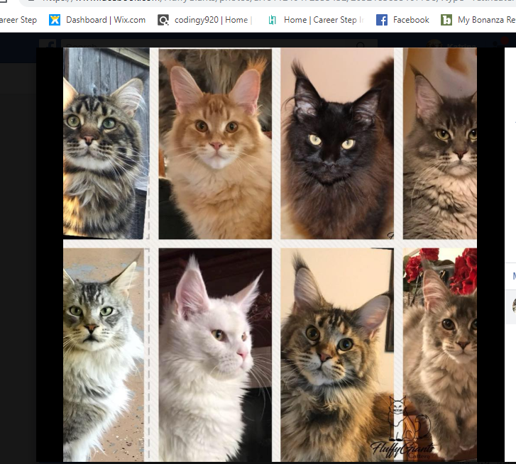 Maine Coon Kittens For Sale Fluffy Giants Cattery Adrian Michigan