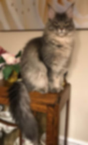 Maine Coon Honey Melody young