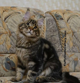 Proton Maine Coon Cat