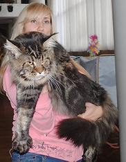Maine Coon  dad