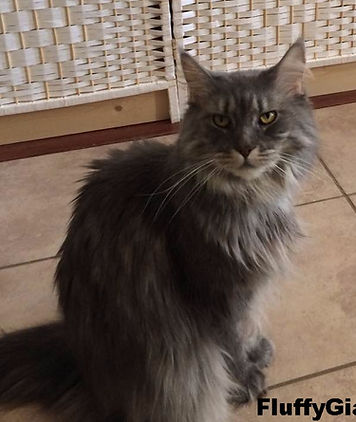 Gizmo Maine Coon Retired