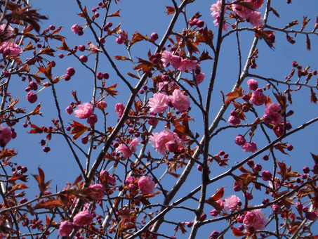釧路八重が咲き始めました