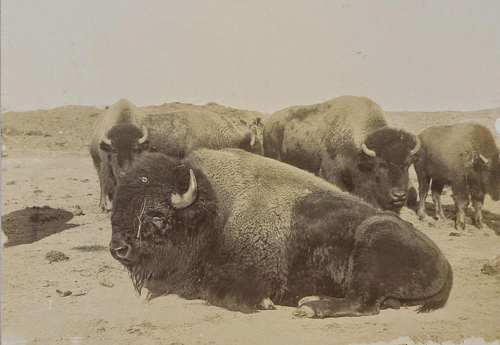 Canadian Bisons