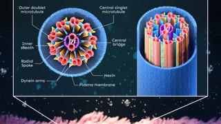 Motile cilia structre
