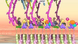 Sequential protein recruitment