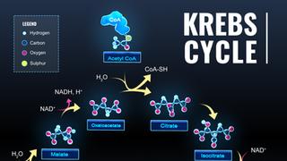 Krebs Cycle