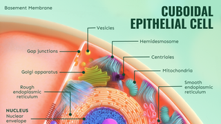 Cuboidal Epithelial Cell