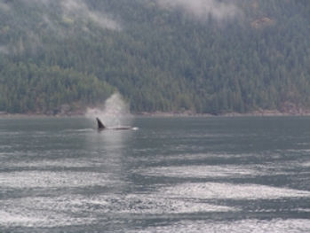Toba Wilderness, Wildlife, Orcas, killer whales, bear, deer, eagles, seals, sea lions, dolphins, crab, prawns,