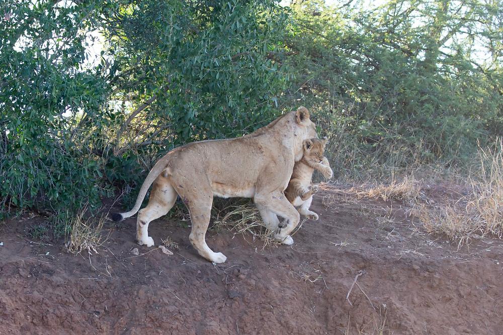 Lion_and_cub.jpg