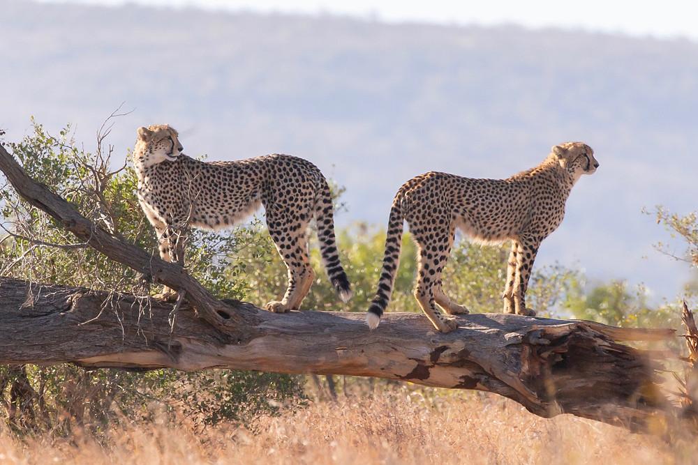 Two_cheetah.jpg