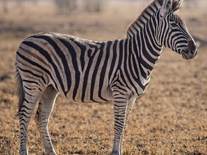 The Life Cycle of Animal Print That Never Dies