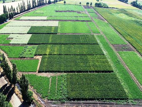 Polo de granos ancestrales logra aumentar en 77% superficie de quínoa en Chile en tres años