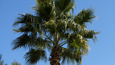 Palm tree in the gardens, El Molino del Conde