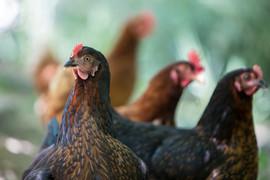 El Molino del Conde: The chickens