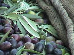 El Molino del Conde: Olive harvest -  December in Andalucía