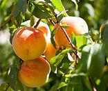 9c Peaches - September 2010.jpg