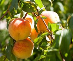 El Molino del Conde: Peaches in the gardens in September