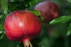 El Molino del Conde: Pomegranates in the Gardens in September