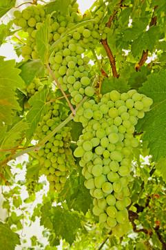El Molino del Conde: Grapes in the courtyard, July in Andalucía