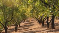 Almond groves above Villanueva de Tapia