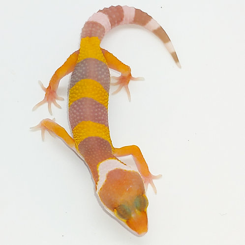 Sg WY Tremper het Eclipse TS Female