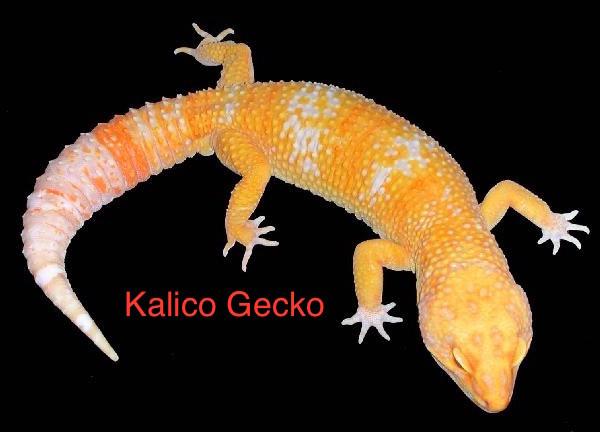 Morphs Kalicogecko