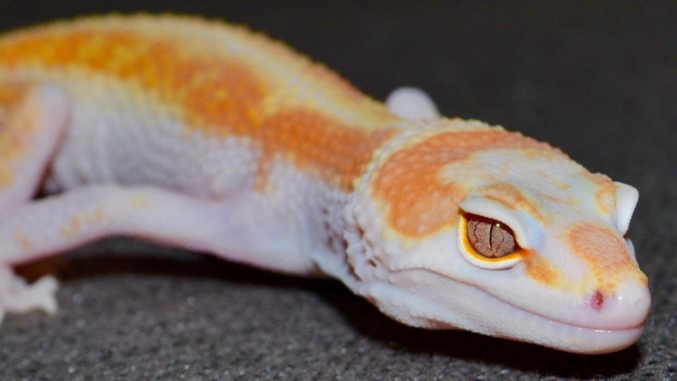 Super Giant, Giant Leopard Gecko, Blood Lines