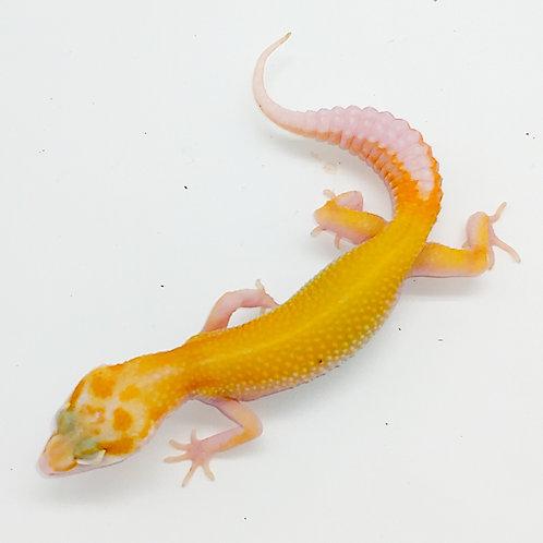 Sg Solar Snake Eye Raptor ts female