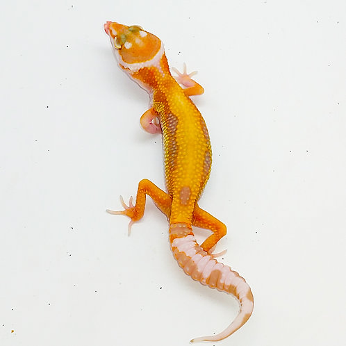 Sg WY high contrast extreme emerine tremper het eclipse ts female