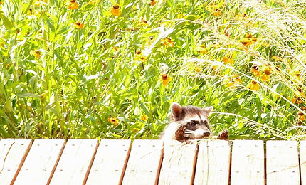 Raccoon Crop Final_edited.jpg
