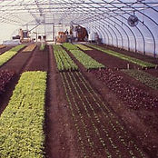Rows of greens in hoophouse at Fourseason Farm