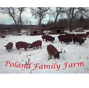 Pigs frolicking in snow at Poland Family Farm