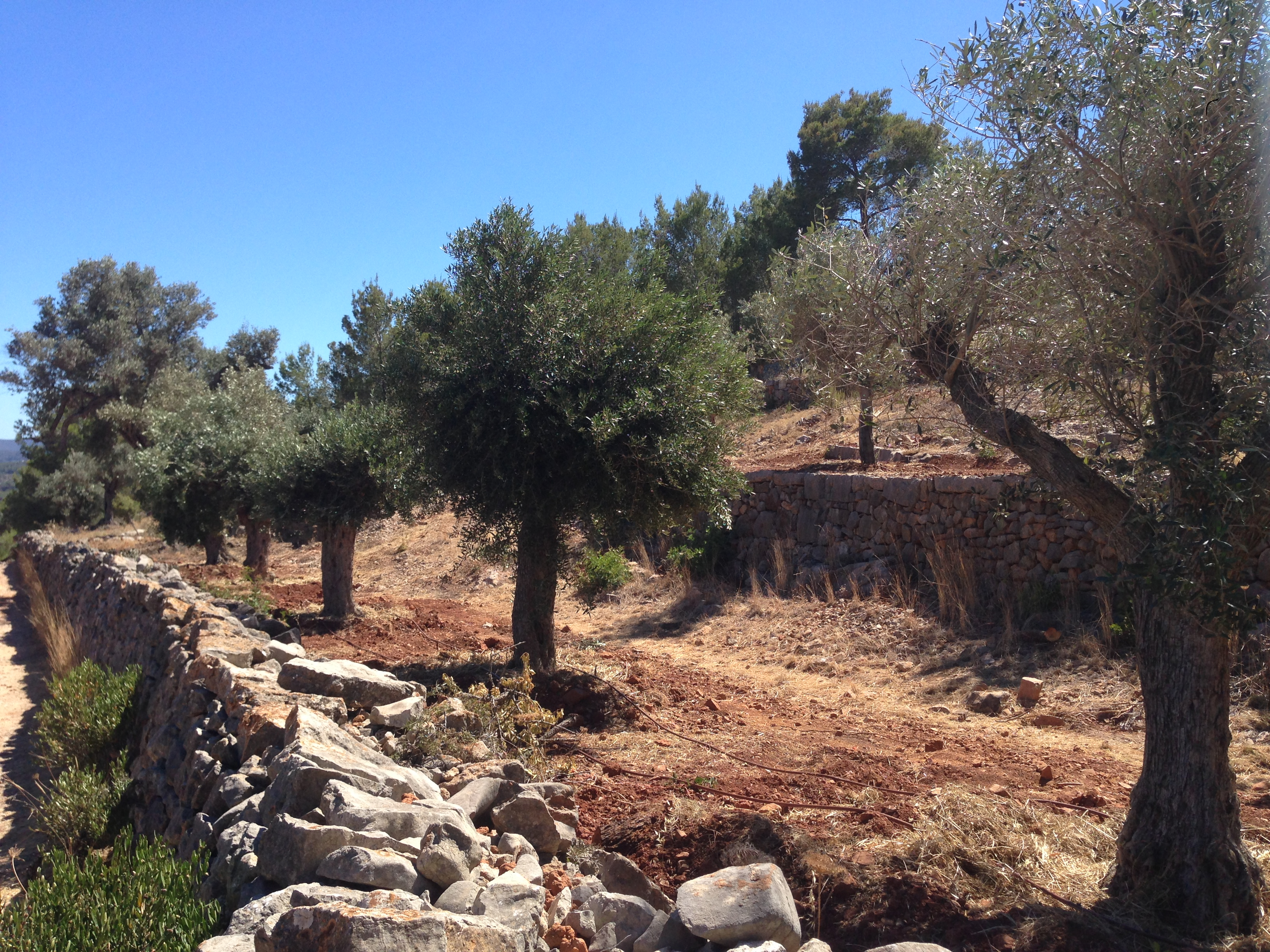 28 Olive trees Ibiza