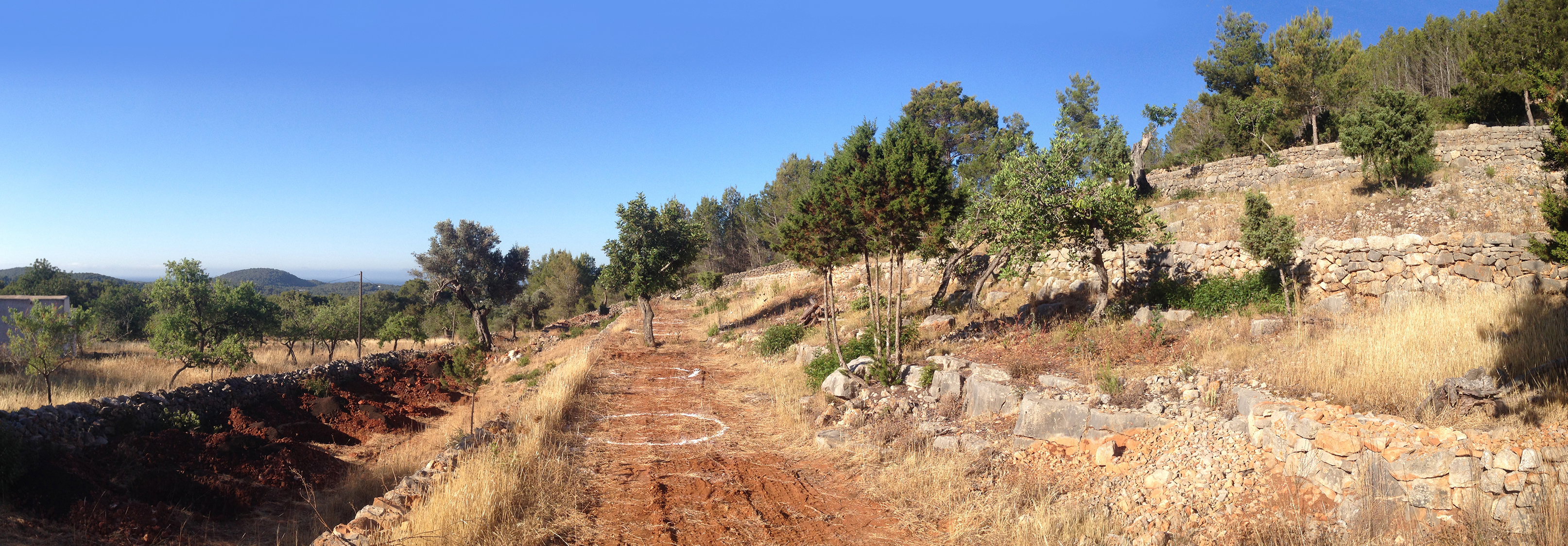 28 Olive trees Ibiza before