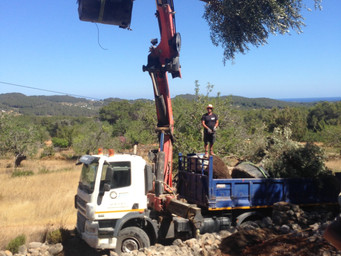 28 Olive trees planted at the 'old Finca' in Ibiza