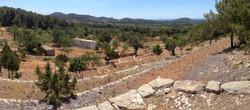 28 Olive trees Ibiza before