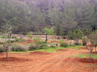 16 Fruit trees planted at the Old Finca, Ibiza