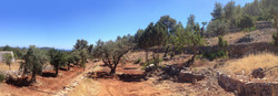 28 Olive trees Ibiza after