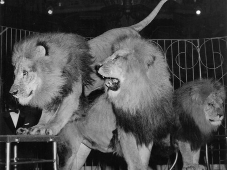 """WILLIAM LIVESEY 1905: """"PARTLY DEVOURED BY LIONS."""""""