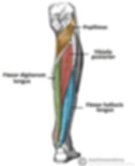 Muscles-in-the-Deep-Layer-of-the-Posteri