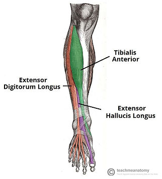 Muscles-of-the-Anterior-Leg-925x1024.jpg